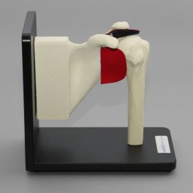 Shoulder Assembly on Stand with Replaceable Parts, Foam Cortical