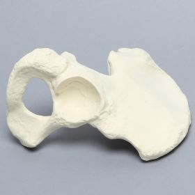 Hemi Pelvis, Female, Solid Foam, Right