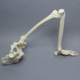 Pelvis with Leg, Full Female, Foam Cortical