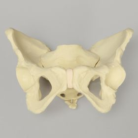 Pelvis with Movable SI Joints, Full Female, Solid Foam