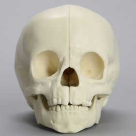 Skull, Full Pediatric, with Vise Attachment