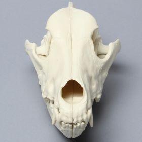 Full Canine Skull, Articulated, Solid Foam